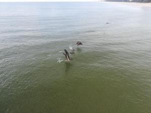 Pelikáni loví rybku rybku